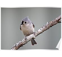 Tufted titmouse perched on a branch Poster