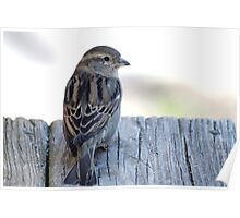 House sparrow sits on a weathered step Poster