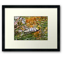 Silvereye Honeyeater Framed Print