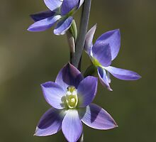 Thelymitra grandiflora by LeeoPhotography