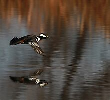 Hooded Merganser in Flight by KatsEyePhoto