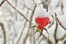 Snowy hat on a Rose's hip by David Isaacson