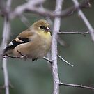 Goldfinch by Kimberly Palmer