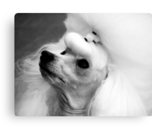 Perfectly Groomed Poodle  Canvas Print
