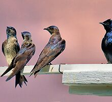 Purple Martins by RickDavis