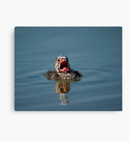 Little Cry Baby Grebe Canvas Print