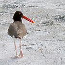Oystercatcher by ♥⊱ B. Randi Bailey