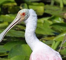 roseate spoonbill up close and personal by jozi1