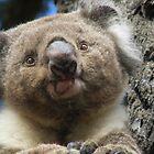 Koala Cutie! by TracyD