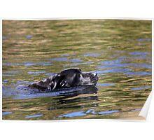 Swimming Labrador Poster