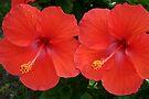 Hibiscus Twins by RebeccaBlackman