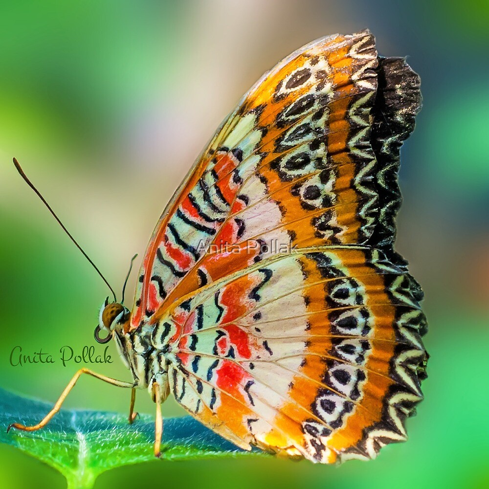 Butterfly at Rest by Anita Pollak