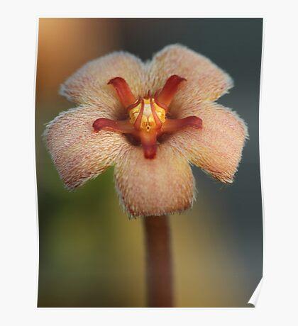 Stapelia paniculata Poster