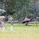 Emus & Kangaroos by elsha