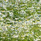 Daisies by LydiaWoods