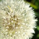 Dandelion by LydiaWoods