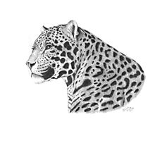 A Leopard's Watchful Eye Photographic Print