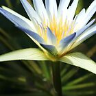 Water Lily by KiaPhotography