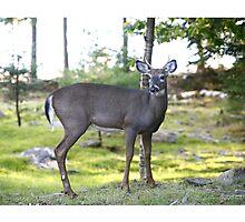 Maine Whitetail Buck Photographic Print