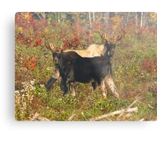 Maine Bull Moose Metal Print