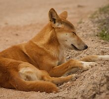 Adorable Dingo by cute-wildlife