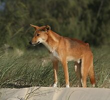Beautiful Dingo by cute-wildlife