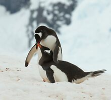 Penguin cuddles by David Burren