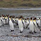 King Penguins coming ashore by David Burren