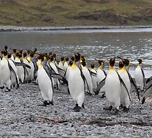 King Penguins coming ashore by David Burren