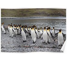 King Penguins coming ashore Poster