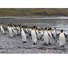King Penguins coming ashore Photographic Print