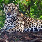 Jaguar chilling out by Linda Sparks