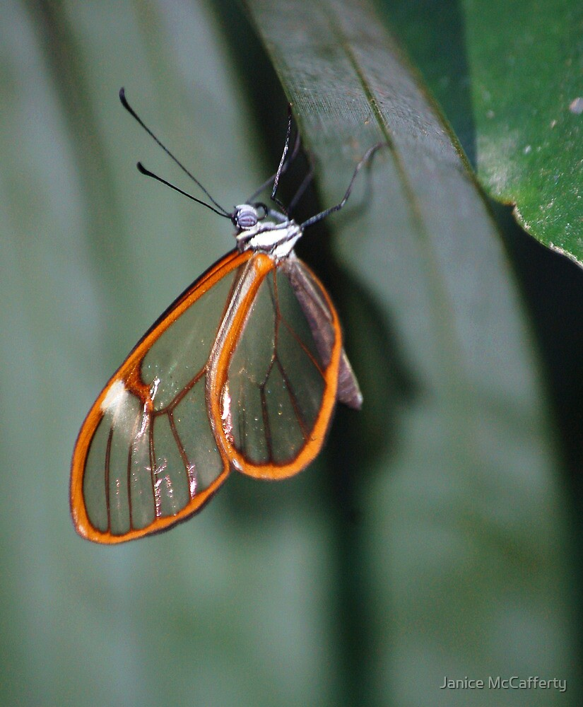 Glasswing by Janice McCafferty