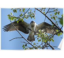 Osprey with Outstretched Wings Poster