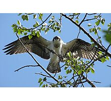 Osprey with Outstretched Wings Photographic Print