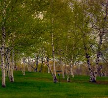 Beautiful Birch Trees by Monica M. Scanlan