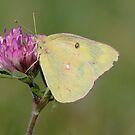 Sulphur Butterfly by hummingbirds