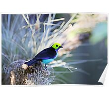 Tanager Poster