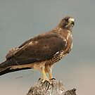 Summer Swainson's Hawk by Kent Keller
