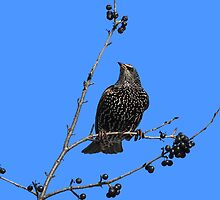 Starling in fall with berries by hummingbirds