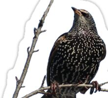 Starling in fall with berries Sticker