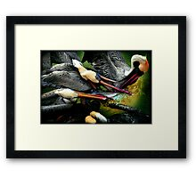Pelican fight II Framed Print