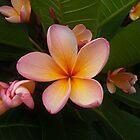 Pink Frangipani & Buds by Odille Esmonde-Morgan