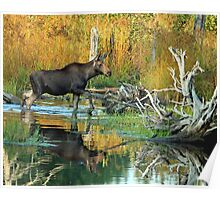 Maine Moose Poster