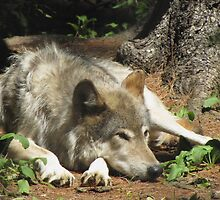 Timber Wolf Chilling Out by hummingbirds