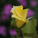 Yellow Rose by Carol Field