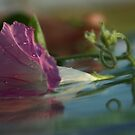 Morning Glory down the river  Petrusburg, South Africa by Mauds