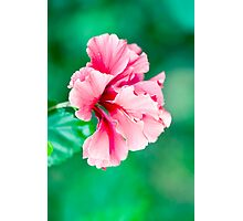 Double Pink - Hibiscus flower Photographic Print