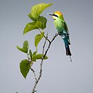 Out on a Limb - Rainbow Bee-eater by Jenny Dean