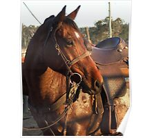 Rodeo pick up horse Poster
